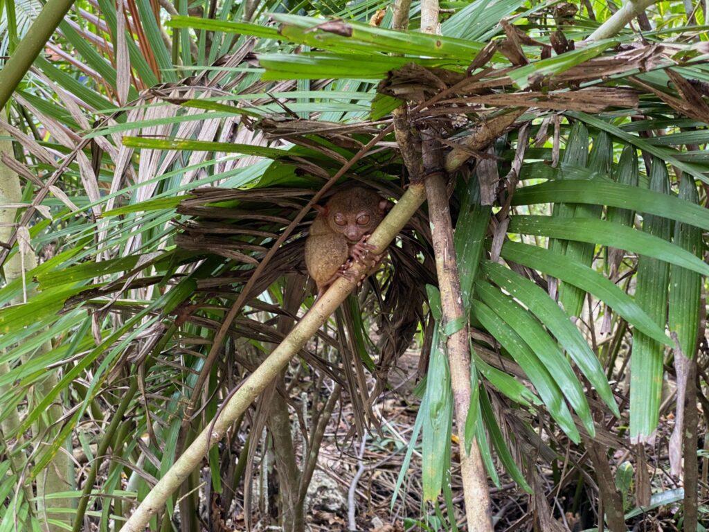 tarsier, tarsier sanctuary