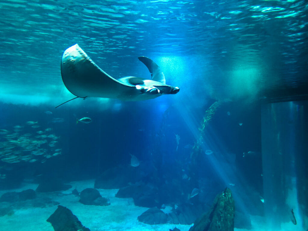 Devil ray at the Lisbon Oceanarium